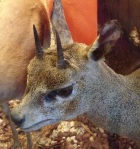The Klipspringer roams most of the lower half of Africa and around the coastlines.