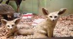 The Fennec Fox, found in the Sahara of North Africa
