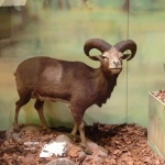 The Mouflon, found in the Caucasus, northern and eastern Iraq, and northwestern Iran