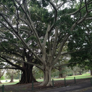 One of the many gorgeous, massive trees in the Royal Botanic Gardens park which houses the Art Gallery of NSW (Image source: My camera)