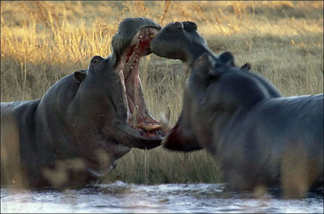 Photo of fighting hippos from Animals Time