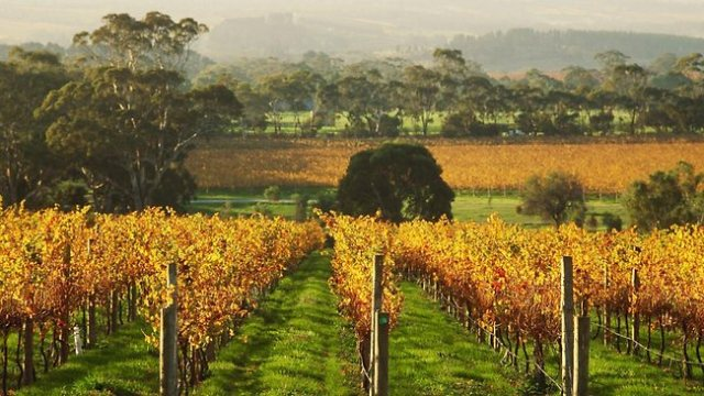 Australian autumn in Penny Hill Vineyard, McLaren Vale.  Image source: Getty Images via The Australian